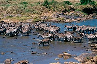 Herd of Burchell's Zebras crossing a river, Kenya (Equus burchelli)