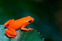 High angle view of a Golden Mantella Frog (Mantella aurantiaca)