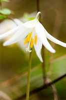 White Fawn Lily (Erythronium oregonum) in John Dean Provincial Park. Saanich, British Columbia, March 11 2005