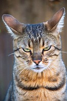 Portrait of a beautiful handsome tabby cat