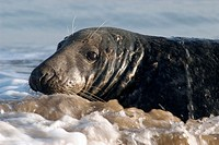 Grey Seal (Halichoerus grypus), male on seashore. U.K