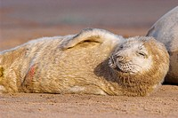Grey Seal (Halichoerus grypus), newborn pup showing part of its umbilical cord. Donna Nook National Nature Reserve, England. UK