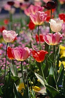 Pink and red tulips in open air
