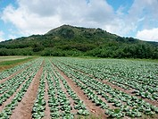 Cabbage field in Tubuai. Austral Islands, French Polynesia