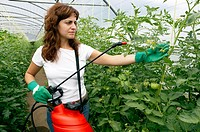 Tomato flower pollination with sprayer. Greenhouse. Agricultural production.