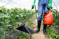 Farmer applying herbicide with bell sprayer. Tomato plant. Greenhouse.