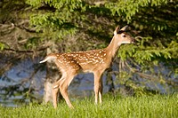 White tailed deer (Odocoileus virginianus)/fawn/captive
