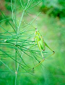 Young grasshopper on asparagus fern