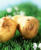 Sprouting potatoes on grass