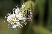 Flesh Fly (Sarcophaga carnaria) on flowers