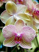 Front and back view of Moth Orchid