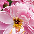 Close up of Pink Peony with small bud, Paeonia