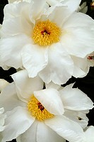 Close up of white peonies with yellow centers, Paeonia