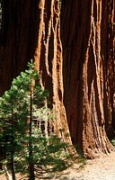 Sequoia trees. California, USA