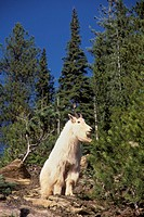 Mountain Goat, Selkirk Mountains
