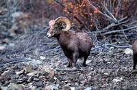 California bighorn sheep ram (Ovis canadensis californiana) in the fall.