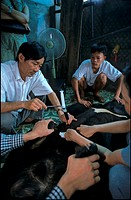 A medical ultrasound machine is used to locate the gall bladder and then a 50 ml syringe is used to extract bile from an Asian black bear (Selenarctos...