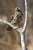 Immature Red-shouldered Hawk (Buteo lineatus). In winter in Hamden, CT.