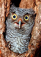 Screech owl (Otis asio) nestling peering out of a tree nest cavity in Northern Florida.
