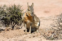 Mara, or Patagonian Cavy (Dolichotis patagonum), photographed in Patagonia, Argentina.