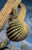 Saguaro Cactus (Carnegiea gigantea), Saguaro National Park near Tucson. Arizona, USA