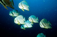 Platax teira. Batfish. Maldive Islands. Indian Ocean