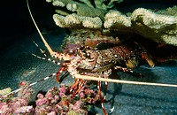 Panulirus femoristriga. Spiny lobster. Thailand. Andamans Sea. Indian Ocean