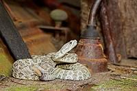 Prairie Rattlesnake (Crotalus viridis). Minnesota, USA