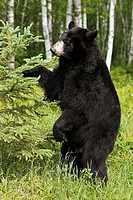 Black Bear (Ursus americanus). Minnesota, USA
