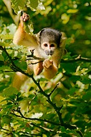 Squirrel Monkey (Saimiri scireus), captive. The Netherlands