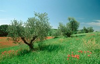 Olive trees, Tuscany, Italy