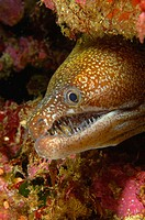 Mosaic moray eel (Enchelycore ramosa). Poor Knights Islands, New Zealand. South Pacific Ocean.