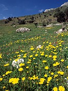 Corn marigolds (Chrysanthemum segetum) in the Amari valley, Crete.