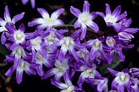 Glory of the snow flowers (Chionodoxa luciliae).