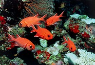 Pinecone soldierfish (Myripristis murdjan) inhabit lagoons and reefs in the Indo-Pacific region. They feed on plankton and grow up to 60 centimetres i...
