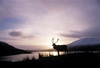 Red deer stag (Cervus elaphus) in front of a loch at sunrise. The red deer is Britain´s largest native mammal, with males growing to heights of 1.5 me...