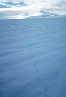 Animal track on the snow, Lappland