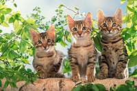 Three cats on a branch of a tree