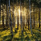 Sunlight at a birch grove