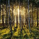 Sunlight at a birch grove