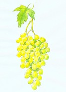 A drawing of yellow grapes