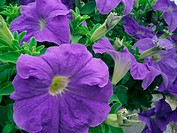 Blue petunias