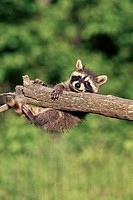 Common Raccoon (Procyon lotor), juvenile