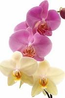 Orchid, Phalaenopsis