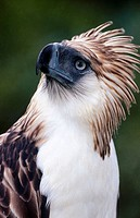 Greater Philippine Eagle (Pithecophaga jefferyi), captive. Philippines