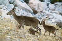 Rock Goat (Capra ibex) with young. Parque Natural Sierras de Tejeda y Almijara. Málaga province. Spain