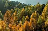 Larches in Nationalpark Hohe Tauern, Austria