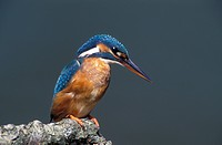 kingfisher, halcyon
