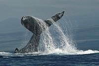 Hawaii, Humpback Whale (Megaptera novaeangliae) fluke