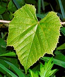 Close-up of a frost grape (Vitis vulpina, or Vitis riparia) leaf, alternate and shield-shaped, leaf size variable. Also known as the riverbank grape a...
